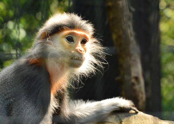 世界一美しい猿アカアシドゥクラングール
